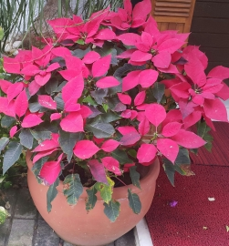 Christmas Poinsettias.jpg